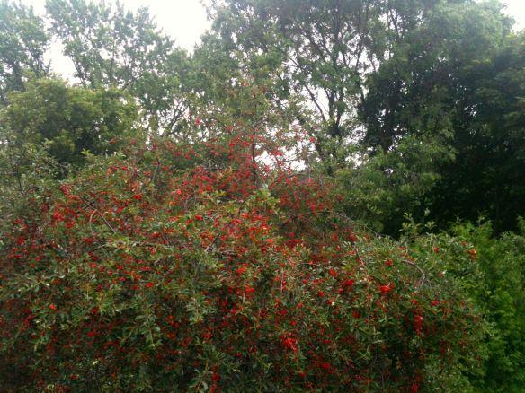 cherry tree #1