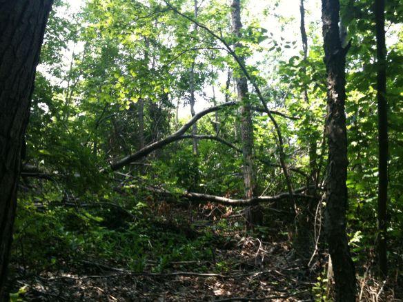 fallen tree #1