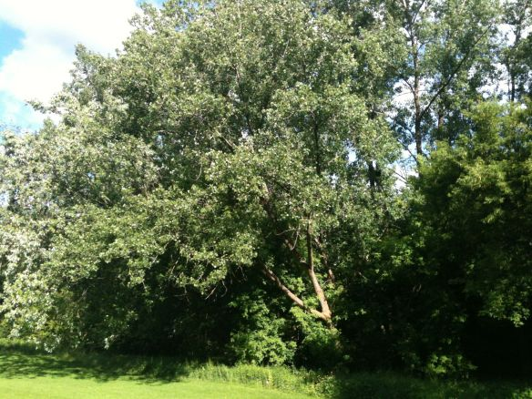 poplars in the wind