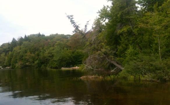 lake shore cedar leaning