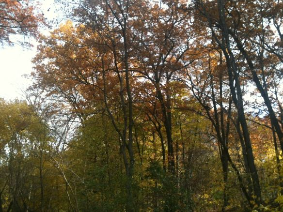 Nov woods maples
