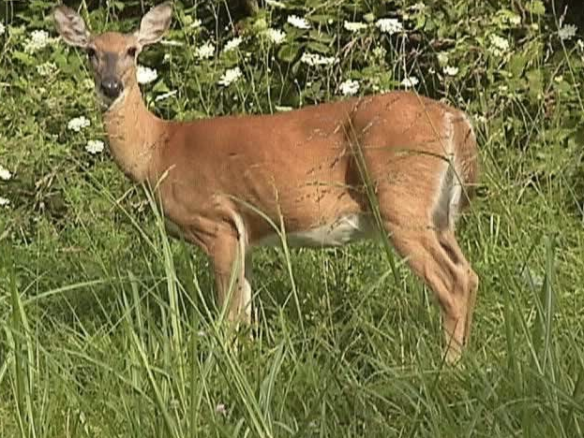 white tailed deer #2